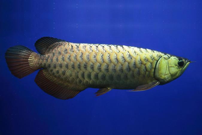 Cá rồng vàng