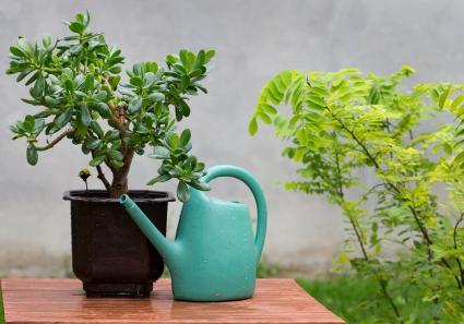 Chăm sóc cây ngọc bích của bạn