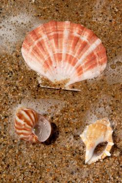 Chuỗi Fibonacci trong vỏ sò