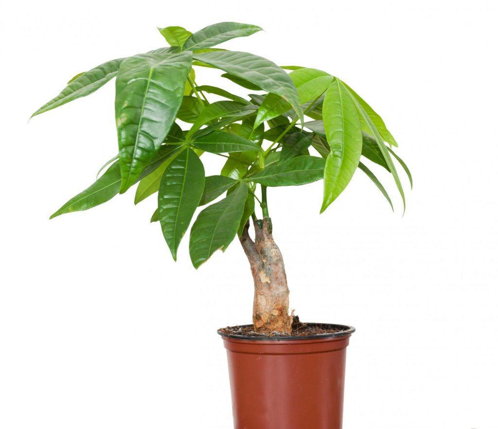 Cây Pachira là cây tiền phong thủy