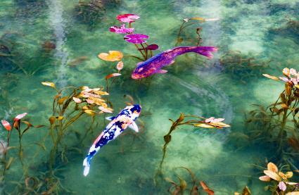 Hai con cá koi trong ao của Monet