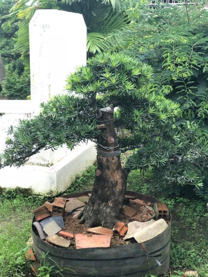 Cay Bonsai Qua Tang